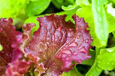 Lettuce in botanical garden