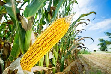 Close-up of shucked field corn in a corn field in Ridgley, Maryland, USA