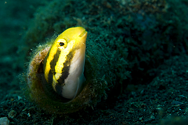Shorthead fangblenny, Petroscirtes breviceps, in a bottle, Lembeh Strait, Bitung, Manado, North Sulawesi, Indonesia, Pacific Ocean