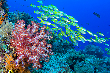 Soft coral, Dendronephthya sp., and schooling bigeye snappers, Lutjanus lutjanus, Raja Ampat, West Papua, Indonesia, Pacific Ocean