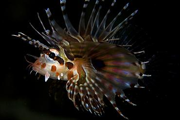 Zebra lionfish, Dendrochirus zebra, Lembeh Strait, Bitung, Manado, North Sulawesi, Indonesia, Pacific Ocean