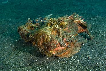 Estuary stonefish pair, Synanceia horrida, Lembeh Strait, Bitung, Manado, North Sulawesi, Indonesia, Pacific Ocean