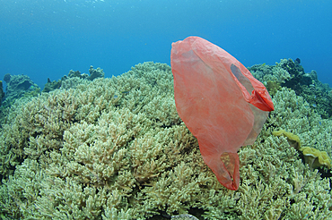A plastic bag floats across the reef, Lembeh Strait, Manado, North Sulawesi, Indonesia, Pacific Ocean