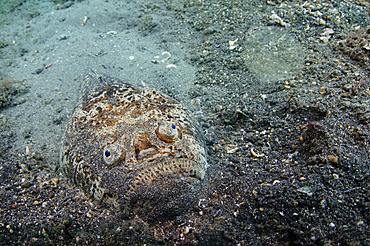 Stargazer portrait, Uranoscopus sp., Lembeh Strait, Bitung, Manado, North Sulawesi, Indonesia, Pacific Ocean