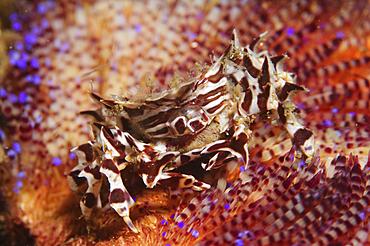 Zebra crab in fire urchin, Zebrida adamsii and Asthenosoma ijimai, Komodo National Park, Nusa Tenggara, Indonesia, Pacific Ocean