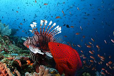 Coral Grouper, Cephalopholis miniata, and lionfish, Pterois volitans, hunting anthias, Pseudanthias sp., Komodo National Park, Nusa Tenggara, Indonesia, Pacific Ocean