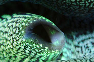 Giant clam detail, Tridacna crocea, Bima, Sumbawa, Nusa Tenggara, Indonesia, Pacific Ocean