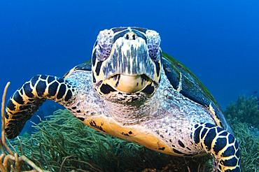 Hawksbill turtle portrait, Eretmochelys imbricata, Komodo National Park, Nusa Tenggara, Indonesia, Pacific Ocean