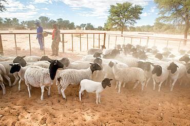 Namibia - Dorper sheep on farm in Africa