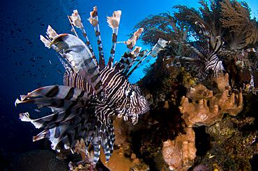 Two lionfish, Pterois volitans, hunt small baitfish, Komodo National Park, Nusa Tenggara, Indonesia, Pacific Ocean