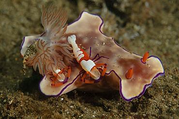 Two emperor shrimp, Periclemenes imperator, catch a ride on a Ceratasoma sp., nudibranch, Bima Bay, Sumbawa Island, Nusa Tenggara, Indonesia, Pacific Ocean