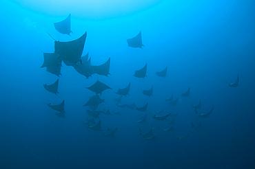 Schooling mobula rays, Mobula sp., Komodo National Park, Nusa Tenggara, Indonesia, Pacific Ocean