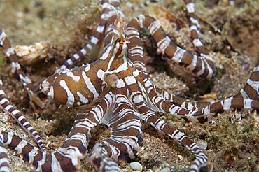 Wonderpus or Wunderpus on the sand, Wunderpus photogenicus, Bima Bay, Sumbawa, Nusa Tenggara, Indonesia, Pacific Ocean