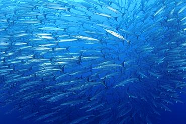 Schooling chevron barracuda, Sphyraena qenie, Bacan Island, Spice Islands, Maluku Region, Halmahera, Indonesia, Pacific Ocean
