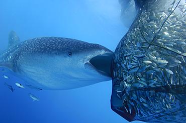 A whaleshark sucks on a net full of fish, Rhincodon typus, Cendrawasih Bay, Papua Province, Indonesia, Pacific Ocean