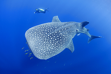 A diver interacts with a whaleshark, Rhincodon typus, under a bagan, a traditional style of fishing boat, Cendrawasih Bay, Papua Province, Indonesia, Pacific Ocean