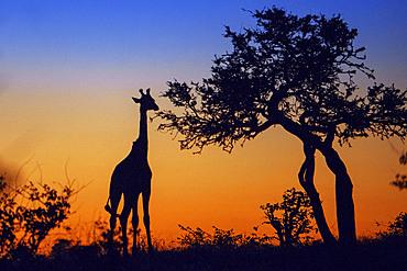 Giraffe (Giraffa camelopardalis) at sunset at Mashatu game reserve, Botswana, Africa