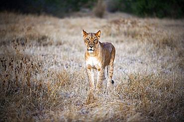 Lion (Panthera leo) at Mashatu game reserve, Botswana, Africa