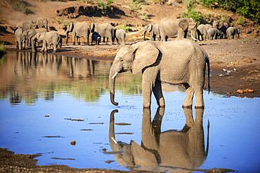 African elephant (Loxodonta africana) small group of elephants drinking at a waterhole in Mashatu game reserve, Botswana, Africa