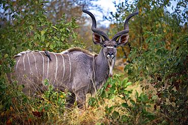 Greater kudu (Tragelaphus strepsiceros) in Mala Mala Game Reserve Sabi Sand Park Kruger South Africa, Africa