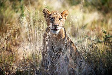 Lion (Panthera leo) at Mala Mala Game Reserve Sabi Sand Park Kruger South Africa, Africa