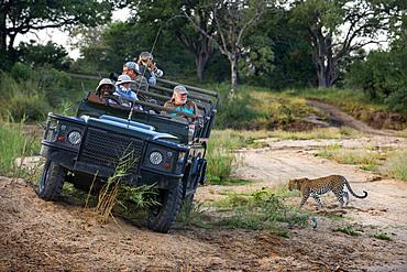 Safari car vehicle and Leopard (Panthera pardus) in Mala Mala Game Reserve Sabi Sand Park Kruger South Africa, Africa