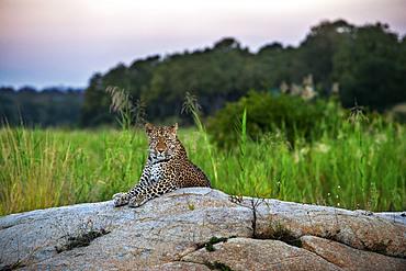 Leopard (Panthera pardus) in Mala Mala Game Reserve Sabi Sand Park Kruger South Africa, Africa