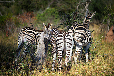 Burchell's zebras (Equus burchellii) at Mala Mala Game Reserve Sabi Sand Park Kruger South Africa, Africa