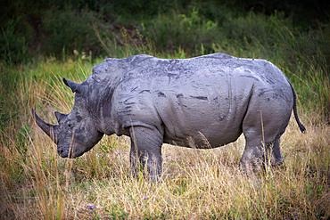 Female white rhino at Mala Mala Game Reserve Sabi Sand Park Kruger South Africa, Africa