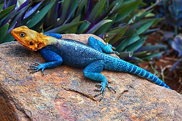 Brightly coloured Rock Agama lizard basking on a rock by a Tsavo National Park game near Voi in Southern Kenya