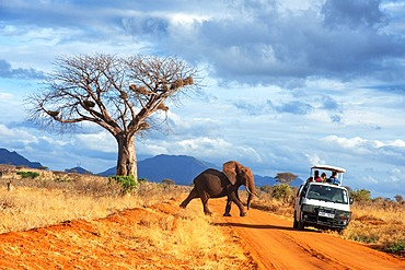 Safari vehicle car with tourists and an elephant covered in red dust blocks a track in Kenya s Tsavo National Park