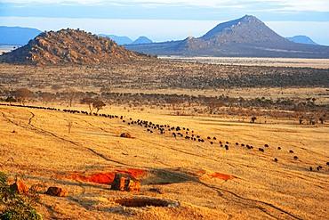 Migration of a group portrait of African buffalos Syncerus caffer, Tsavo, Kenya