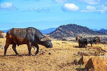 Portrait of African buffalos Syncerus caffer, Tsavo National Park, Kenya