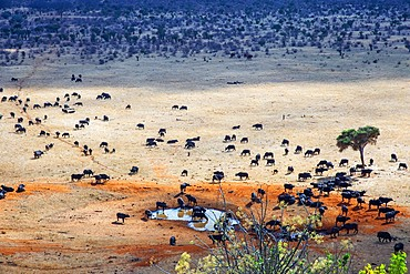 Migration of a group portrait of African buffalos Syncerus caffer herd drinking in front of Voi lodge, aerial view, Tsavo East National Park, Kenya