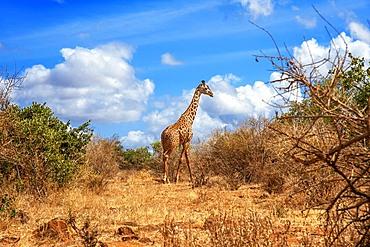 Maasai giraffe of Giraffa camelopardalis tippelskirchi in Tsavo East National Park, Kenya