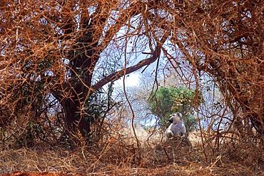 Vervet monkey Chlorocebus pygerythrus sitting on bare earth in Tsavo National Park Kenya
