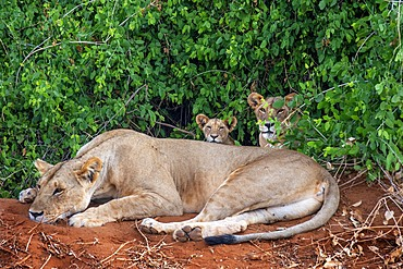Female Lion or Panthera leo with puppies on Tsavo National Park, Kenya, Africa