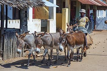 Man riding donkeys on the main street of Lamu town in Lamu Island, Kenya.