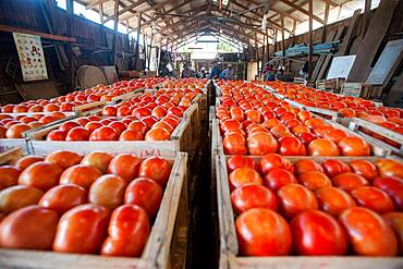 Crates of sorted tomatoes on tomato farm in Rancagua, Chile