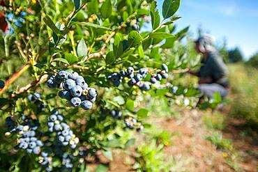 Blueberry bushes and harvest in Temuco Chile
