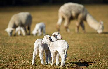 Lambs embrace in pasture on farm