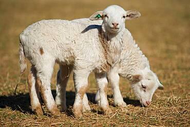 Lambs in pasture on farm