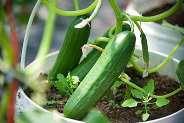 Cucumber Plants in Buckets