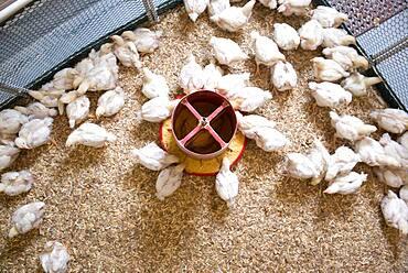 Baby Chicks Feeding