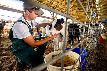 Veterinarian inspecting dairy cows in a stable inside barn