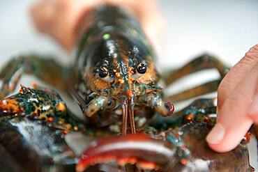Scientist's hand holding a lobster in aquatic research lab