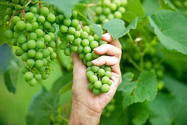 Hand holding grape bunch