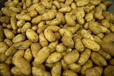 Potatoes on a potato farm
