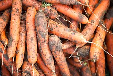 Pile of freshly pulled carrots