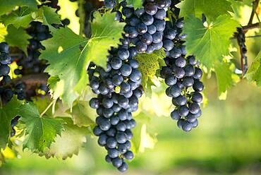 Dark colored wine grapes hanging in vineyard
